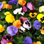 Ask about Wave Pansies!